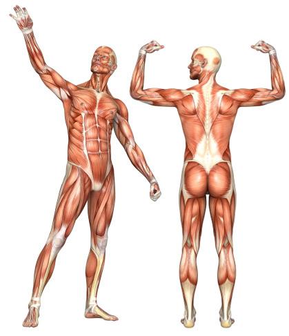 Muskelgruppe: Oberschenkel (Rückseite) - fin.de